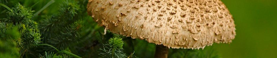Ein einzelner Pilz in den Wisseler Dünen
